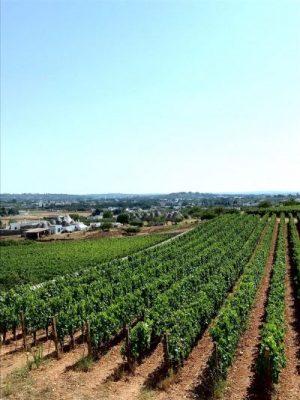 Valle d'Itria - Filari di uva